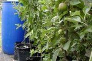 Frugttræer – Æble