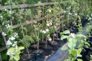 Pottetræer – æble