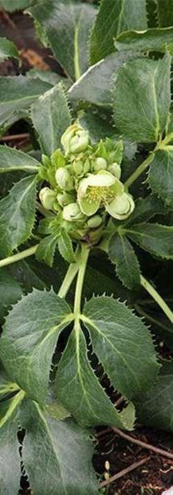 Julerose med torne - Skovbakken 10, Glyngøre - Blågrønne læderagtige blade med skarpe takkede bladrande. De stedsegrønne blade er godt beskyttede, og ikke mange får lyst til at gnave i den. Men helt tidligt på året blomstrer den og så ændrer den karakter. Blomsterne - Skovbakken 10, Glyngøre