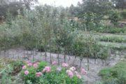 Æbletræer med mistelten