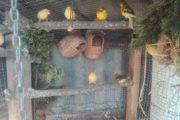 Kanariefugle