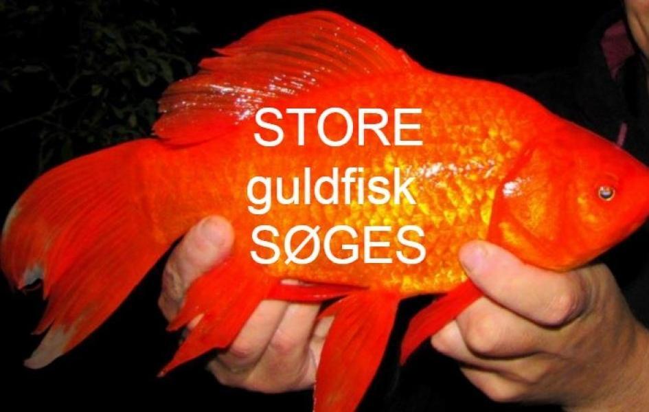 Guldfisk søges