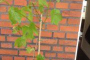 Vindrueplante