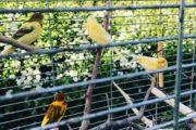 Kanariefugle sælges
