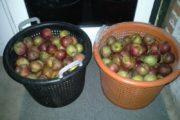 Æbler Belle de Boskoop