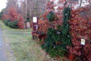 Juletræer – Virksund
