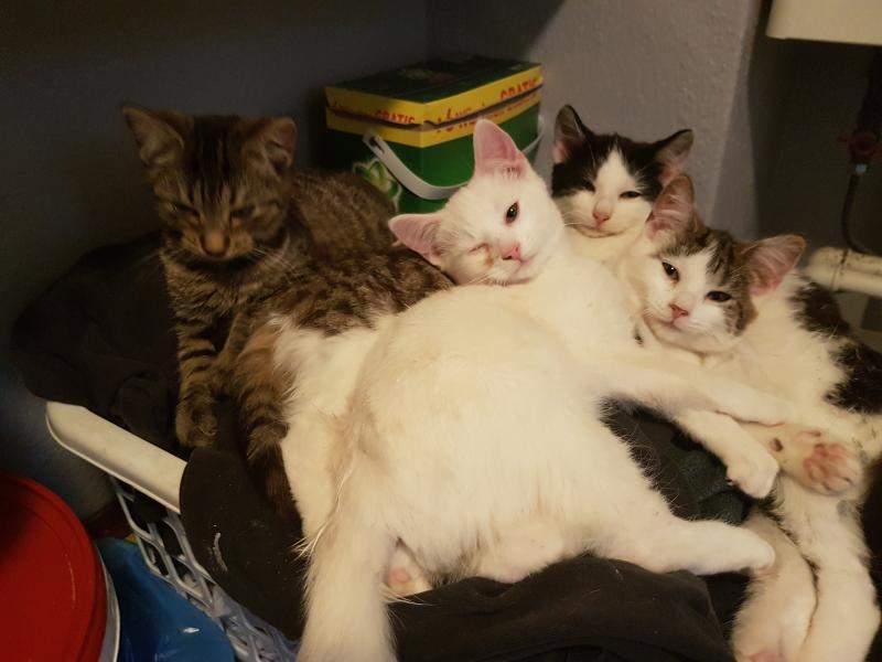 Kattekillinger