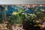 guppy fisk
