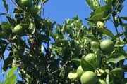 Grønne Juleappelsiner