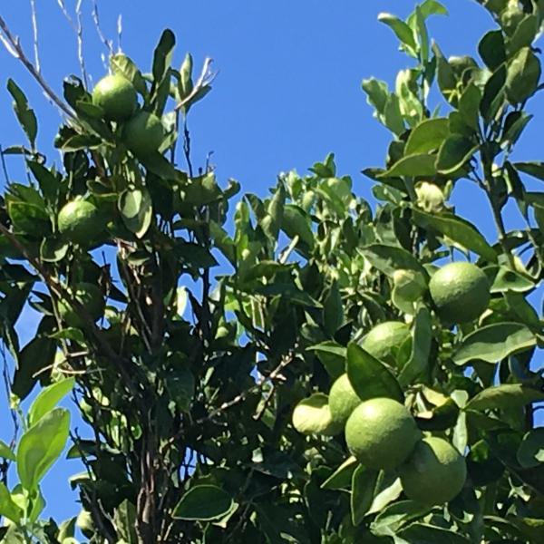 Grønne Juleappelsiner - Danelykke 3, Hem - Nej, vi har ingen grønne juleappelsiner, men kan igen i år garantere super søde og saftige orange juleappelsiner og store flotte avocadoer direkte fra Kreta. Bestil på hjemmesiden, ring på 7023 1201 eller kom forbi butikken i Hem o - Danelykke 3, Hem