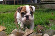 Engelske bulldog hvalpe