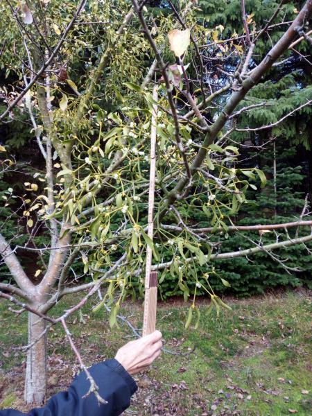 Æbletræ m, mistelten + hindbær