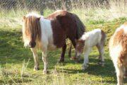 2 Ponyer