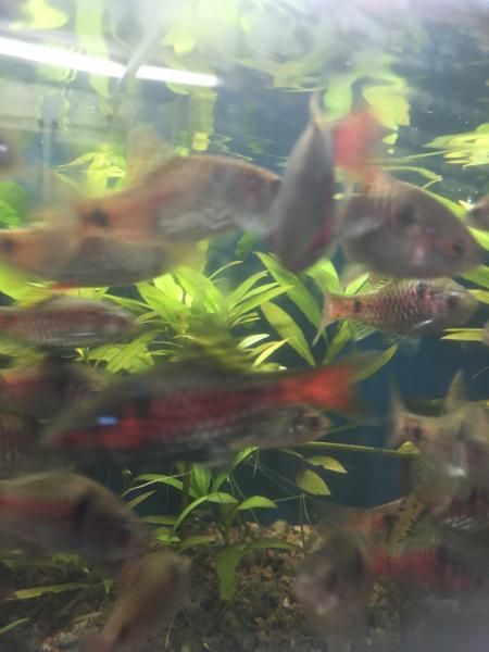 Akvariefisk