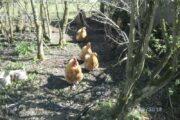 ruge æg