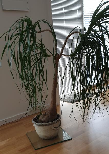 Elefantfod – Potteplante - østertorv 2a - Elefantfod – Planten er fra pottebund til plantetop ca. 130 cm. På det bredeste sted af toppen er der også ca. 130 cm. Stammen fra pottejord til den deler er der 70 cm. Jeg har ikke plads til den mere