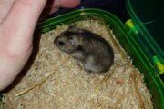 Dværg hamster
