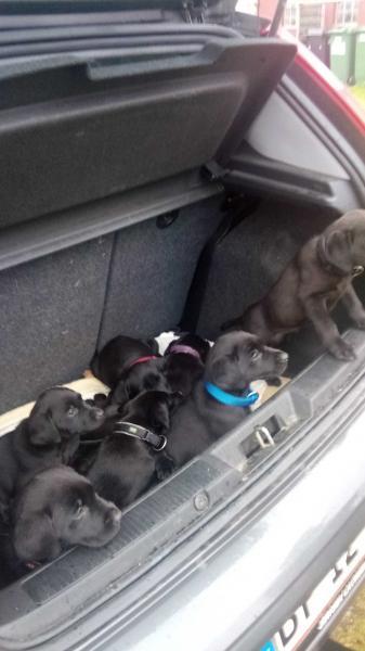 Labrador hundehvalpe sælges - Stengårdvej 6 - Labrador Retriver F 1 hvalpe, tilbage 2 sorte tæver og 1 han salgsklare den 12 oktober, færdig vac. og chippet - Stengårdvej 6