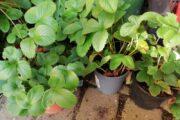 Ananas jordbær planter