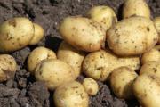 Kartofler sælges