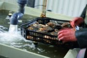 Verdens bedste østers skal fejres!