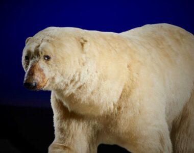 Isbjørnen og dens venner. Udvalgte dyr fra museets samling